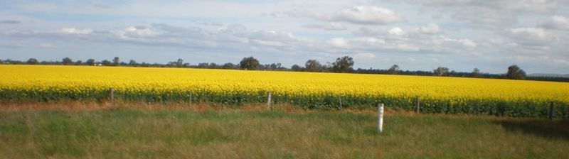 Canola growing